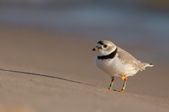 Piping plover (evansmith16) Tags: 300f4isl birds wildlife greatlakes michigan pipingplover 80d canon