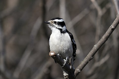 Downy Woodpecker (female) (gmspanek) Tags: downywoodpecker