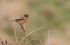 STONECHAT ♀️ (Bradders62) Tags: stonechat sigma150500mmf563dgoshsmlens devon canoneos7d dartmoor birds wildbirds britishbirds nature wildlife southwest