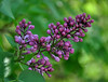 buds of wild lilac (rafasmm) Tags: biały dunajec polska poland wild lilac purple buds plant flowers flower green nature bokeh nikon d90 18105 nikkor outdoor color spring mountain