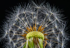 The Crown (Jose Matutina) Tags: closeup dandelion macro micro nature plant seeds