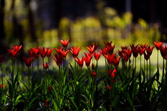 flower 1512 (kaifudo) Tags: sapporo hokkaido japan maruyamapark flower tulip 札幌 札幌市 北海道 円山公園 チューリップ アラジン nikon d810 nikkor afs 105mmf14eed 105mm kaifudo