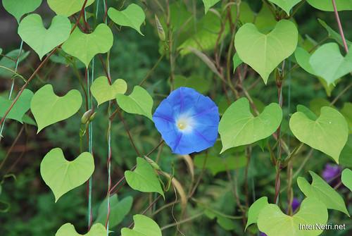Квіти Кручені паничі InterNetri Ukraine 23
