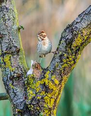Female Reed Bunting (Nigel Wallace1) Tags: reedbunting birds bird birdwatching birdwatch rspb rspblakenheath tiny natureatitsbest nature beautyinnature ornithologist ornithology feathers beak animal