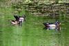 Wood Duck (M. Coppola) Tags: hillsborough lettucelakecountypark florida woodduck aixsponsa male adult female