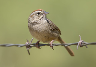 Rufous-crowned Surprise