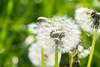 Dandelion (Maria Eklind) Tags: countryside maskros skåne landscape rapeseedfield rapeseed outdoor malmö dandelion oxie field skånelän sverige se