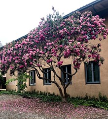 Rhododendron Tree (Melinda Stuart) Tags: rhododendron pink asian uc berkeley campus spring music building morrison stucco windows