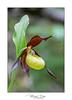 Cypripedium calceolus (Mig 74) Tags: cypripediumcalceolus orchidées orchidales végétaux 74 cypripediacea lieux focusstacking flickr lefion
