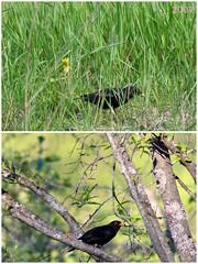 19/365 - Spring birds / Kevadlinnud (Eemeez) Tags: 365 birds collage