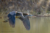 Great Blue Heron (Kevin James54) Tags: lakegalena nikond850 peacevalleypark tamron150600mm animals ardeaherodias avian bird greatblueheron heron kevingianniniphotocom