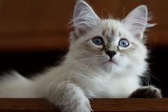 (Irina Valeria) Tags: siberian kitten neva masquerade seal point kitty cat white blue eyes pet animal nikon