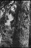vine-covered tree trunk, Asheville, North Carolina, FED 4, Industar 26 50mm f-2.8, Arista.Edu 200, Ilford Ilfosol 3 developer, early April 2018 (steve aimone) Tags: tree treeforms treetrunk vines vinecovered coniferneedles asheville northcarolina fed4 industar2650mmf28 aristaedu200 ilfordilfosol3developer 35mm 35mmfilm fim rangefinder soviet blackandwhite monochrome monochromatic