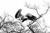 Stork - Zoo Heidelberg, Germany (Sebastian Bayer) Tags: olympus sw vogel tier ausflug natur storch drausen majestätisch baum 4015028 bw äste mc14 zoo schwarzweis minimalistisch omdem5ii heidelberg badenwürttemberg deutschland de