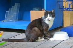 Key West (Florida) Trip 2017 7639Ri 4x6 (edgarandron - Busy!) Tags: cat cats kitty kitties florida keys floridakeys keywest blue heaven ginger
