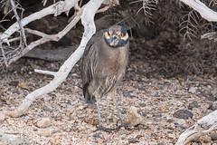 Lava Heron 500_3752.jpg (Mobile Lynn) Tags: herons lavaheron wild birds nature bird butoridessundevalli ciconiiformes coast fauna galapagosheron heron marsh wading wildlife wetland baltra galapagosislands ecuador ec