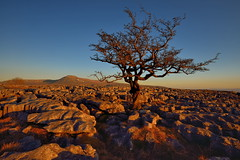 Not bitter, just twisted (images@twiston) Tags: sunset tree lone loner twisleton scar end scars twisletonscarend twisletonscars twistleton limestone pavement grikes clints northyorkshire yorkshire limestonepavement lonetree ewestop ingleton bleak stark fell rock rocks gnarled gnarly twisted dales 3peaks yorkshire3peaks ingleborough landscape blue sky cloudless national park yorkshiredalesnationalpark moors moorland moor lowsleightsroad lowsleightsrd imagestwiston godsowncountry polarizer cirpl cpl ultrawide ultra wideangle wide angle contrail