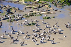 Sanctuary (hecticskeptic) Tags: carpinteria california seals pelicans rinconbeach bluff birds markamorgan