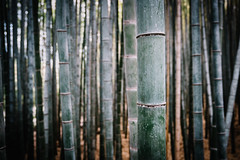 Stout (Trent's Pics) Tags: arashiyama bamboo forest green japan kyoto stout thrive