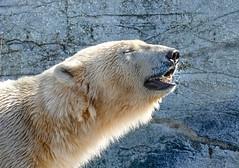 Polar bear in Copenhagen Zoo (Knud Hald) Tags: copenhagen fuji fujix fujixt10 knudhald copenhagenzoo fujixt10withfujinon56mmf12r polarbear denmark backlight animallover animaladdiction animal mammal ursusmaritimus 500v2ofav gorgeous allthebest
