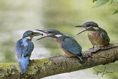 Ijsvogel-28473 (Sjors loomans) Tags: ijsvogel geel kingfisher martinpêcheur deurope alcedo atthis eisvogel holland natuur birds bird sjors loomans outdoor natuurfotografie nature