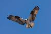 Osprey (Bryan O'Toole) Tags: osprey saultstemarie ontario northernontario canada algoma whitefishisland wildlife nikon nikond810 nikonafs200400mmf4vr