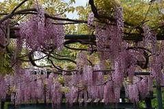 DSC_9795 (griecocathy) Tags: plante glycine fer pergola bois branches feuille fleur ciel rose vert marron nuage