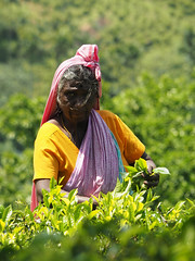 Woman tea picking, Riverston to Rattota, Sri Lanka (malithewildcat) Tags: woman teaplantation womanteapicking riverston srilanka teaplantationtrek centralprovince