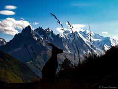 Goat of Mont Blanc (simarknewman) Tags: goat chamonix montblanc