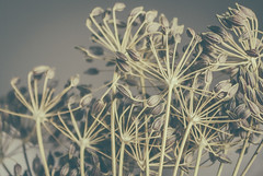 dry... (Ayeshadows) Tags: weed spice fennel seeds dry