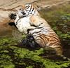 siberian tiger duisburg BB2A3836 (j.a.kok) Tags: tijger tiger siberischetijger siberiantiger pantheratigrisaltaica mammal zoogdier dier animal asia azie kat cat duisburg