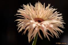 like firework (www.petje-fotografie.nl) Tags: ptjefotografie