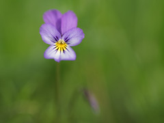 Viola tricolor (Helena Normark) Tags: violatricolor violet heartsease springflower stemorsblomst styvmorsviol trondheim sørtrøndelag norway norge sonyalpha7 a7 50mm lensbaby sweet50 lensbabysweet50 lensbabylove seeinanewway