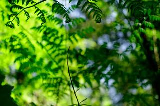 FARNWALD II . FERN FOREST II