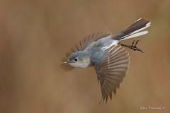 Take off (Earl Reinink) Tags: spring woods bird animal nature wildlife flight flying blur wings migration gnatcatcher bluegraygnatcatcher reinink earlreinink motion hdaaododza