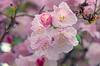 Pink Rhododendrons (JSB PHOTOGRAPHS) Tags: dsc0167copy rhododendron rhododendrons flowers spring hendrickspark nikon d7000 18300mm bokehlicious bokeh water waterdrops