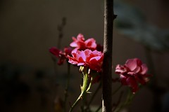 Early morning light (hasham2) Tags: rose light shadows canon 5dmk2 summer colors
