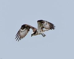 Osprey Silverdale RSPB F00202  D210bob DSC_1059 (D210bob) Tags: osprey silverdale rspb f00202 d210bob dsc1059 nikond7200 lancashire birdphotography birdphotos leightonmoss naturephotography naturephotos nikon nikon200500f56 wildlifephotography