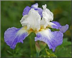 Iris beauty (Foto Martien) Tags: iris lis schwertlilien giaggiolo kosatec kosaciec півники савсан 鸢尾属 perunika アヤメ属 құртқашаш flower bloem blume fleur flor purple blue paars blauw white wit passiflorahoeve harskamp zorgboerderij zorginstelling veluwe netherlands nederland holland dutch geotagging geotaggedwithgps geotag slta77v a77v sonyalpha77 a77 slt alpha minoltamacro100mm28mm macro macrophoto martienuiterweerd fotomartien