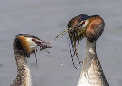 Great Crested Grebe (Podiceps cristatus) (Jud's Photography) Tags: greatcrestedgrebe podicepscristatus grebe courtingdisplay greatcrestedgrebecourtingdisplay rutlandwater bird waterbird