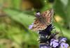 DINGY SKIPPER 100518 (gazza294) Tags: dingyskipper flicker flickr flckr flkr flickrexplore gazza294 garymargetts nature nationalgeographic wildlife wildlifemagazine wildlifephotographer wildlifephotography butterfly butterflies butterflyconservation lepidoptera