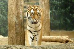 Milwaukee County Zoo (Tiger_Jack) Tags: zoo zoos bigcat bigcats flickrbigcats tiger tigers zoosofnorthamerica itsazoooutthere milwaukeecountyzoo