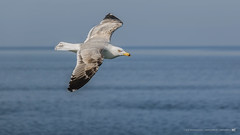 Seagull Flying Over The Sea (nikhrist) Tags: gull seagull flying sky sea blue