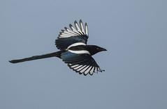 Magpie (Ann and Chris) Tags: magpie intelligent bird wildlife avian wings sky canon7dmarkii beautiful flying