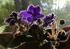 Windowsill in Sun (ggppix) Tags: purple aura corona backlighting violet african flower