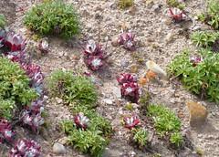 Dudleya fairnosa - Bluff Lettuce (docentjoyce) Tags: dudleyafairnosa blufflettuce californiastateparks pointlobos birdislandtrail californianativeplants californiawildflowers