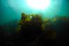 ScotlandWest-201804-Oban-AulistonPt-10-Kelp (Tony J Gilbert) Tags: wwwlochalineboatscouk scotland scubadiving marine diving marinefish nikond300 60mmlens 105mmlens underwater underwaterphotography travel travelogue scottishtravel scottishscubadiving scottishlandscapes scottishwildlife