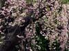 #weepingcherryblossom in #kamakura (Ola 竜) Tags: kamakura sakura bloomingtree treeinbloom cherrytree tree blossoms cherryblossom dof bokeh branches twigs pinkflowers macro closeup fz200 floralcomposition nature orientalgarden japanese bloom japan weepingcherryblossom