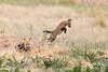 Pouncing Red Fox kit (TonysTakes) Tags: fox redfox kit foxkit weldcounty wildlife colorado coloradowildlife
