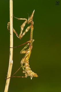 Louva-a-deus, Conehead mantis (Empusa pennata)